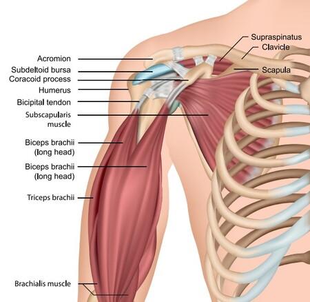 Anatomía del bíceps