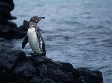 Pinguino Galapagos