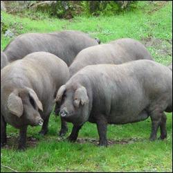 Carne de cerdo más saludable y con menos contenido graso