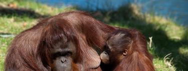 ¿Aún le das teta? Descubren que las orangutanas amamantan hasta los 8 años o más