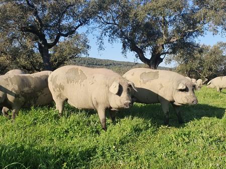 Cerdos Joselito