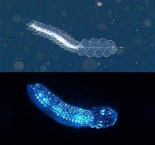 Casi todos los animales del océano profundo producen luz