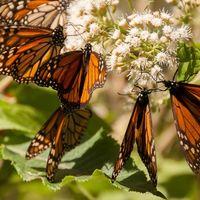Cada vez son menos las mariposas monarca que migran a México, y al parecer es culpa de los huracanes