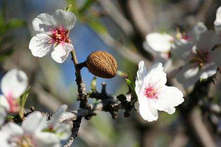 La almendra: conoce sus propiedades y beneficios