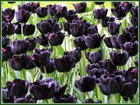 En la naturaleza también hay CD´s: el tulipán negro