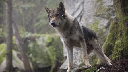 Alpha 2018 Movie Wolf U432