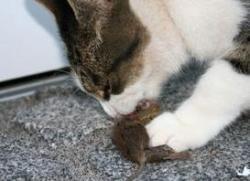Toxoplasmosis, el gran aliado de los gatos