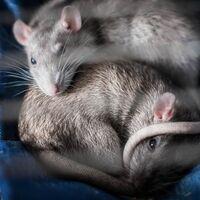El esperma de 12 ratones que estuvo en el espacio es la clave para que la NASA evalúe las condiciones genéticas de astronautas