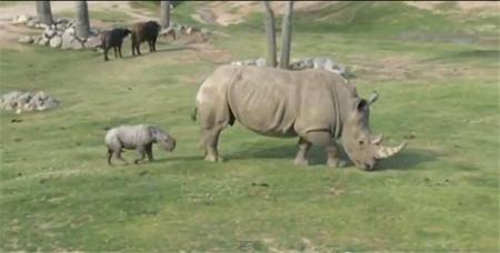 Kayode, el rinocerante blanco, es la estrella del Zoo de San Diego (vídeo)
