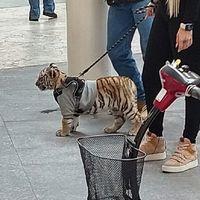 Profepa no encuentra al tigre de bengala que pasearon por Antara, el ejemplar fue trasladado justo antes del escándalo en CDMX