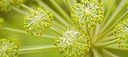 flores de Angelica cultivo biologico