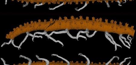 Se descubre este fósil de gusano con patas de 430 millones de años