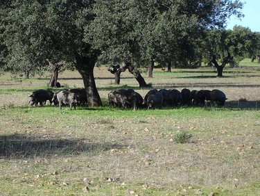Cerdos ibéricos modificados metabólicamente para producir carne con menos grasa