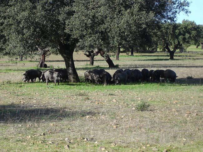 Cerdos ibéricos modificados para producir carne con menos grasa