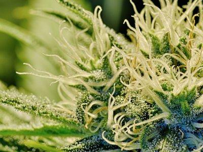 ¿Se te quitan las ganas de trabajar por dinero si consumes cannabis?