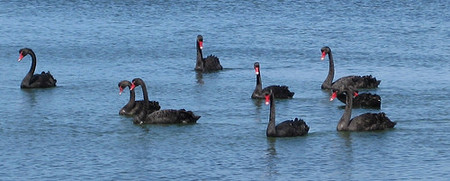 La manada de cisnes negros