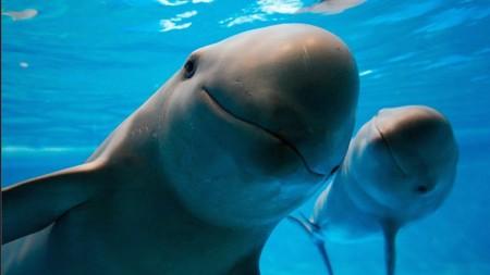 Estados Unidos sancionaría a México de extinguirse la vaquita marina