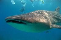 Nadando con tiburones ballena en Oslob, Filipinas