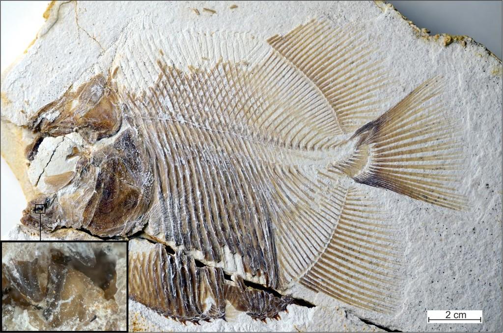 Este es el pez carnívoro mas antiguo del mundo: vivió hace 150 millones de años y se parece demasiado a vuestra pirañas