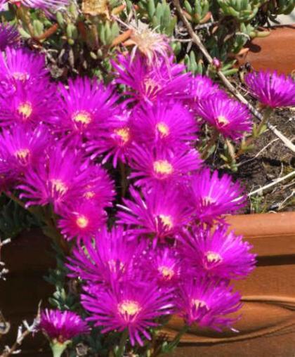 Qu plantas poner en tu terraza este verano - Plantas exterior mucho sol ...