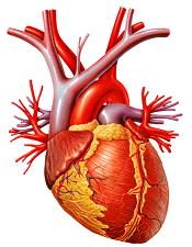 La timosina ayuda al corazón a repararse a sí mismo