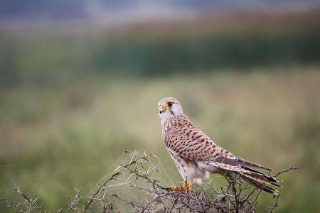 640px Commonkestrel