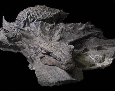 Hace 110 millones de años, un enorme dinosaurio blindado de 1.300 kilos tomó su última comida: la acabamos de encontrar en su estómago