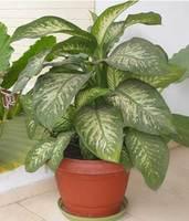 Diffembachia, una planta ornamental y peligrosa