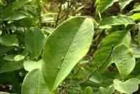Gastón Acurio elabora un menú con hojas de coca