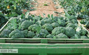 Visitamos una plantación de brócoli en Murcia