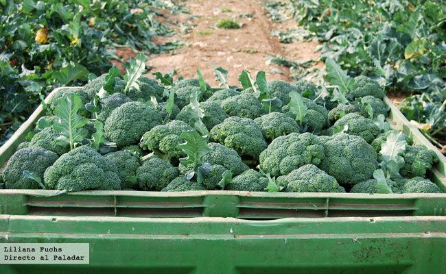 Cosecha de brócoli