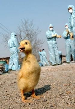 La gripe aviaria sigue siendo una amenaza