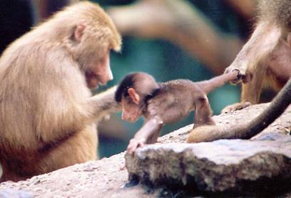 Primates clonados, ¿una realidad?