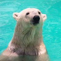 La polémica historia detrás de Yupik, la osa polar que trasladarán de México a Reino Unido por una petición en redes sociales