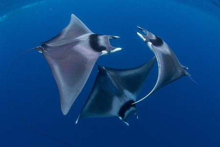 Marine Life Behavior Duncan Murrell Courting Devil Ray