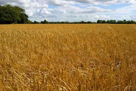 La cebada, el grano con más fibra