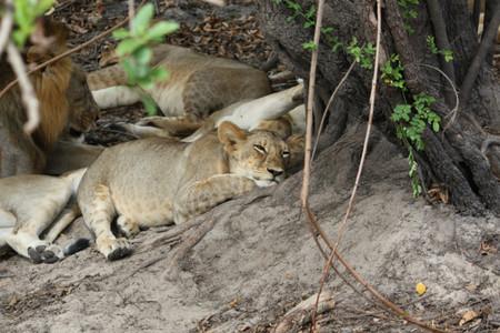 cachorros de leon