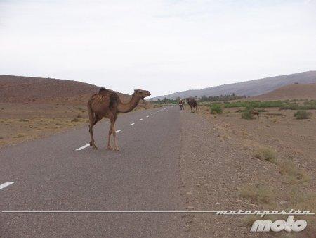Marruecos camello en la carretera