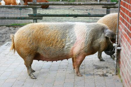 Aquella ocasión en la que Dinamarca convirtió a sus cerdos en su bandera nacional