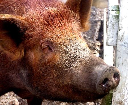 Se consiguen restaurar algunas funciones del cerebro de un cerdo que llevaba 4 horas muerto