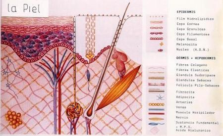 La piel y sus tres capas básicas
