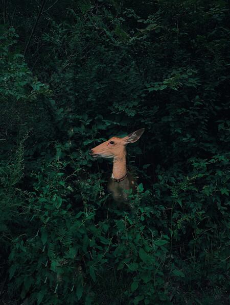 Jian Cui Deer Hidden In The Forest Nature Wildlife Iphonexr China