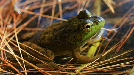 American Bullfrog Rana Catesbeiana Algonquin Provincial Park Ontario 04 Mini