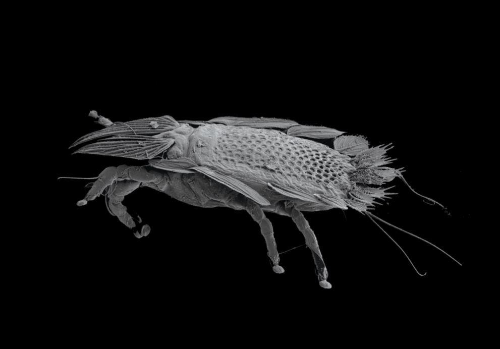 'Opisthocomacarus umbellifer'