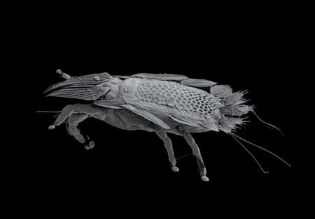 Opisthocomacarus Umbellifer