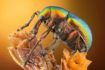14 Leaf Roller Weevil