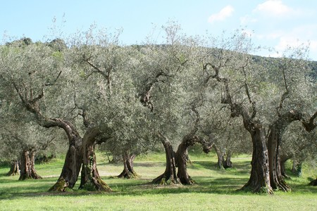 """""""El tiempo es un factor que juega en nuestra contra"""". Así se enfrenta la ciencia a la gran plaga que ha sufrido el olivo europeo"""
