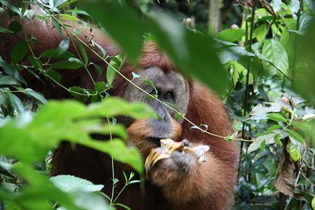 Orangutan en Bukit Lawang Sumatra Indonesia