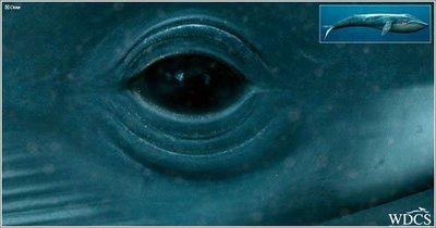 Las ballenas que son ciegas al color azul