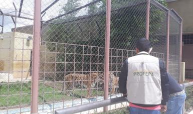 Post Profepa Tigres Asegurados 2 1